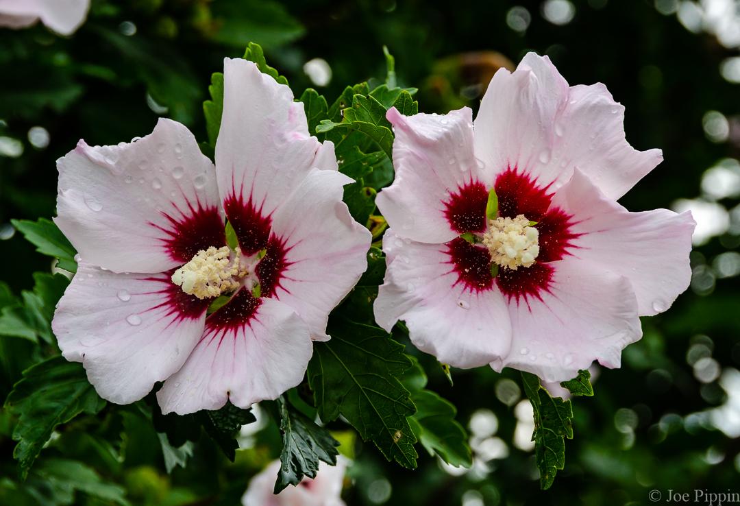 Hibiscus 7-16-18 (1) | Joe Pippin.com